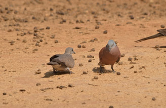 Red Collered Doves